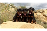 Picture of Rottweiler Puppies