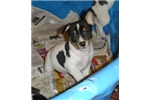 Picture of Beautiful Rat Terrier pups for sale