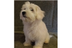 Picture of Daryle  AKC Male