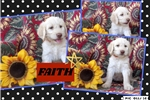 Picture of Australian Labradoodle Charity