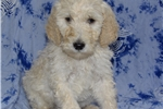 Picture of 40 lb Standard Poodle