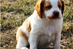 Picture of Brittany Puppy great lines