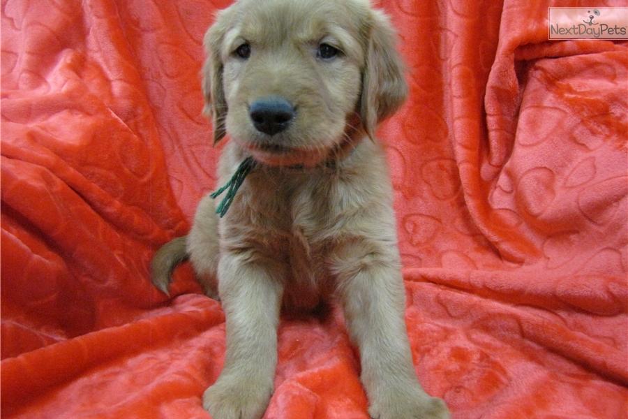 Golden retriever puppies near toledo ohio
