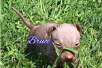 Picture of American Hairless Terrier
