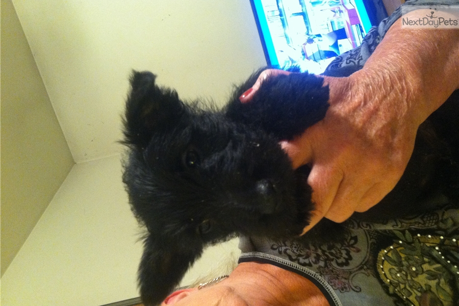 Rescue Me! Scottish Terrier Rescue - Home | Facebook