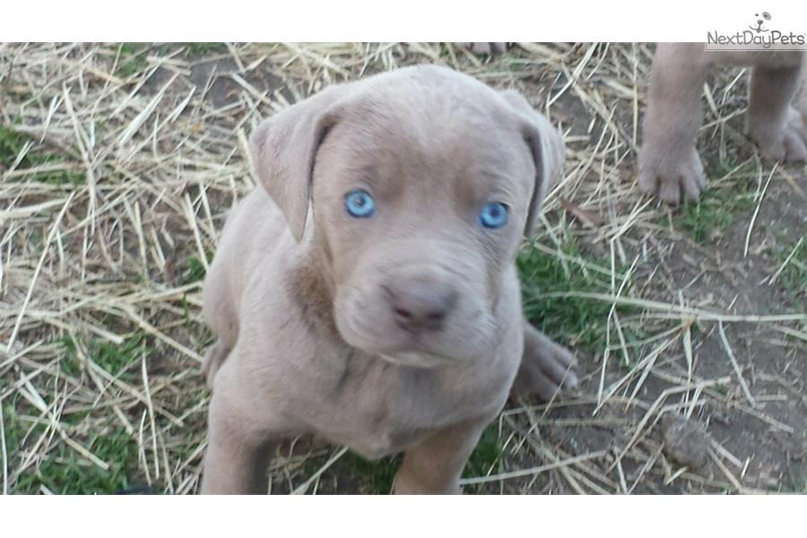 Weimaraner puppy for sale near Eastern NC, North Carolina ...