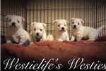 Picture of AKC Westies for sale