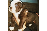 Picture of Alapaha Blue Blood Bulldog