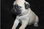Picture of Manning-Registered Male Pug (Shipping Included!!!)