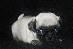 Picture of Pugsy-Male Pug (Shipping Included!!!)