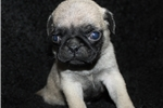 Picture of Esky-Registered Male Pug (Shipping Included!!!)
