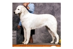 Picture of a Kuvasz Puppy