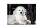 Picture of Kuvasz puppy