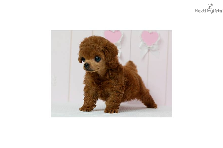 Poodle, Toy puppy for sale near Los Angeles, California ...