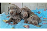 Picture of AKC Weimaraner Puppies.