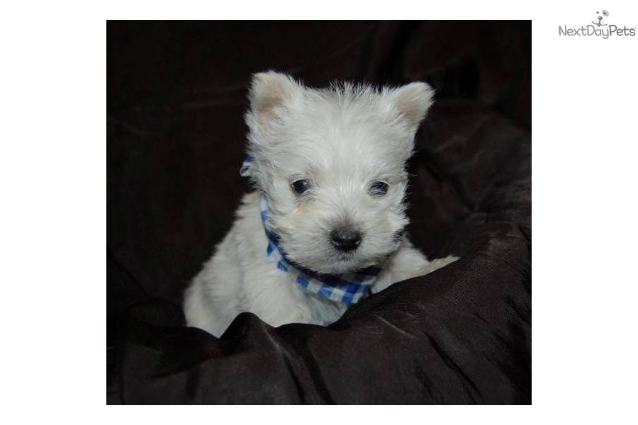 meet weston a cute west highland white terrier   westie