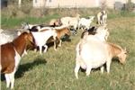 Picture of Layla working LGD Anatolian Shepherd
