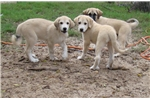 Picture of Livestock guard dog puppy