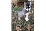 Picture of Settle's Alaskan Klee Kai