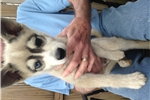 Picture of UKC Grey & White mini male with bieyed