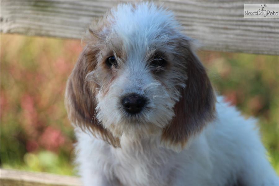 Meet cali a cute petit basset griffon vendeen puppy for - Petit basset griffon vendeen breeders toulon ...