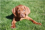 Picture of Vizsla Male Puppy