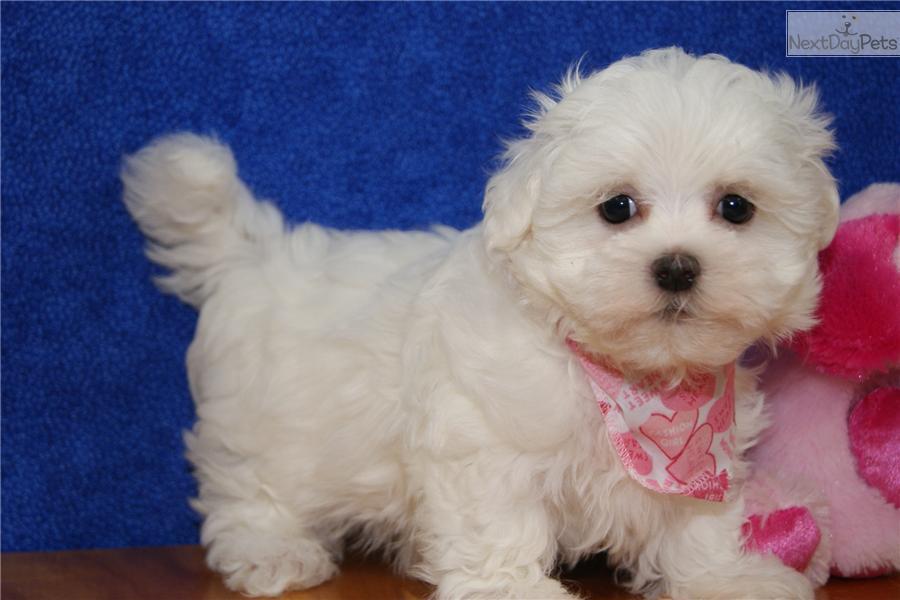 Maltese puppy for sale near Green Bay, Wisconsin ...