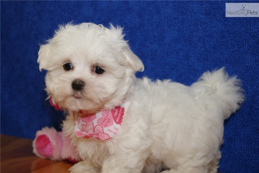 Meet SOPHIE a cute Maltese puppy for sale for $600 ...
