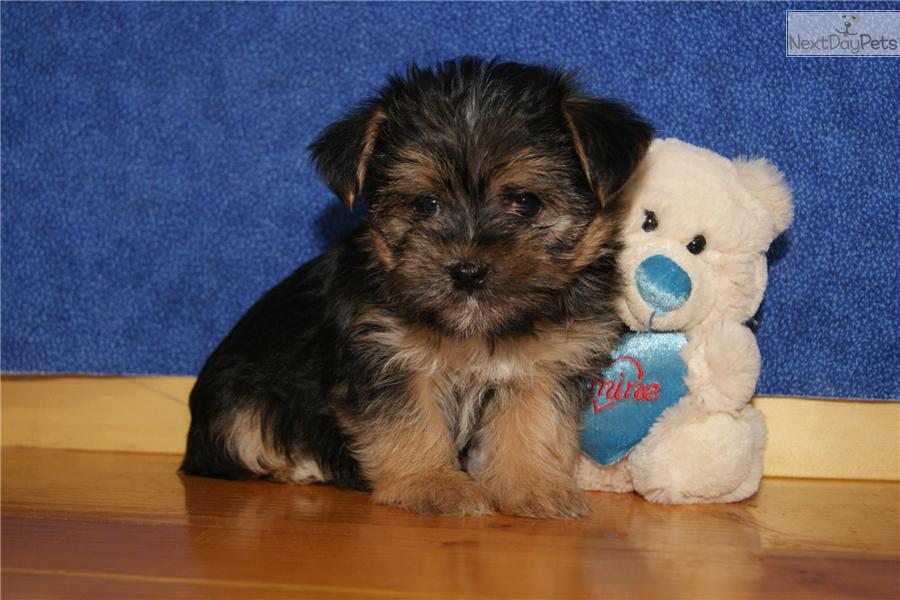Meet Male a cute Morkie / Yorktese puppy for sale for $700. LEO