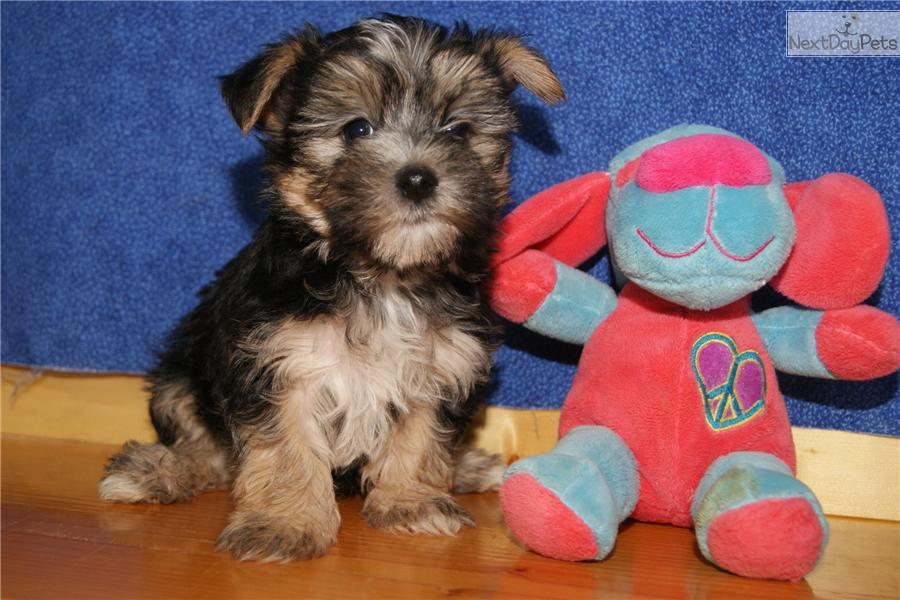 Meet Male a cute Morkie / Yorktese puppy for sale for $700. PISTOL