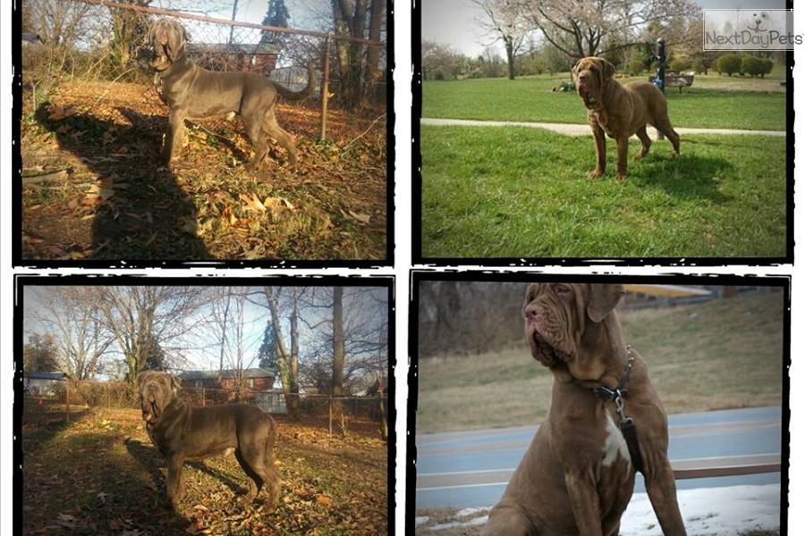 Neapolitan Mastiff Vs Horse