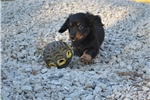 Picture of Beautiful AKC Black and Tan LH Male Dachshund