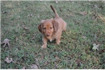 Picture of AKC Long Hair Male Dachshund