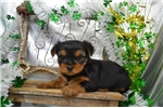Picture of Beautiful AKC Black and Tan Female.