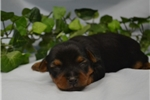 Picture of Precious AKC Yorkies