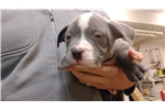 Picture of Zonda-  Pure Breed - Grey & Gotti Blood line