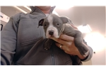 Picture of Diesel-  Pure Breed - Grey & Gotti Blood line