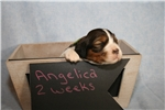 Picture of Angelica - Black tri Sable