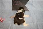 Picture of Susie- Liver / white / tan