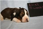 Picture of Eliza - Black tri Sable