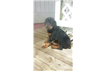 Picture of AKC German Rottweiler puppy