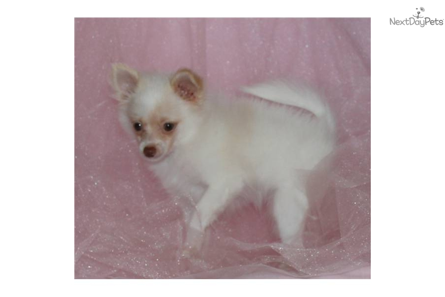 TEACUP RARE Brown Nose  amp  Green EyesTeacup Pomeranian Brown