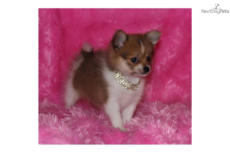 TEACUP RARE Brown Nose 17oz   10wksTeacup Pomeranian Brown