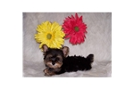 Picture of Morkie Yorkie/Maltese Baby Doll Nose Teacup