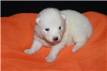 Picture of AKC Samoyeds