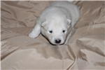 Samoyed for sale