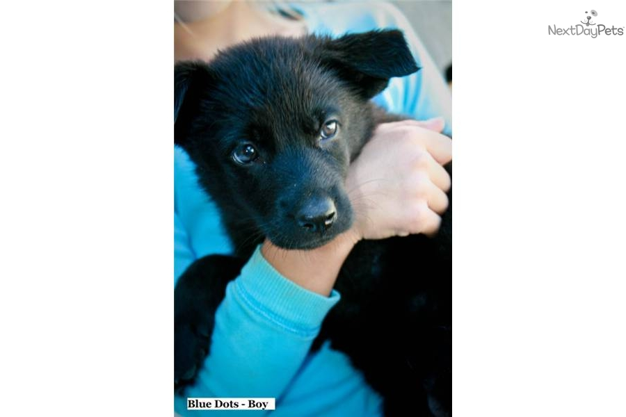 akc-german-shepherd-male-puppy--solid-blackdog-german-shepherd-puppy