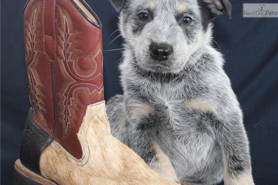 Meet Boots A Cute Australian Cattle Dog  Blue Heeler Puppy For Sale For  475  Boots