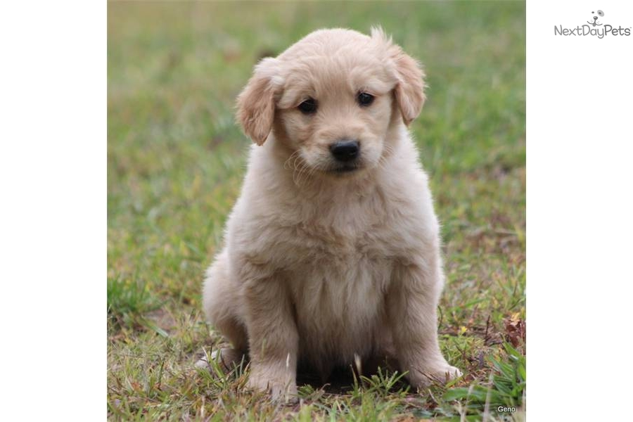 golden retriever preis schweiz golden retriever preis schweiz meet geno a cute golden. Black Bedroom Furniture Sets. Home Design Ideas