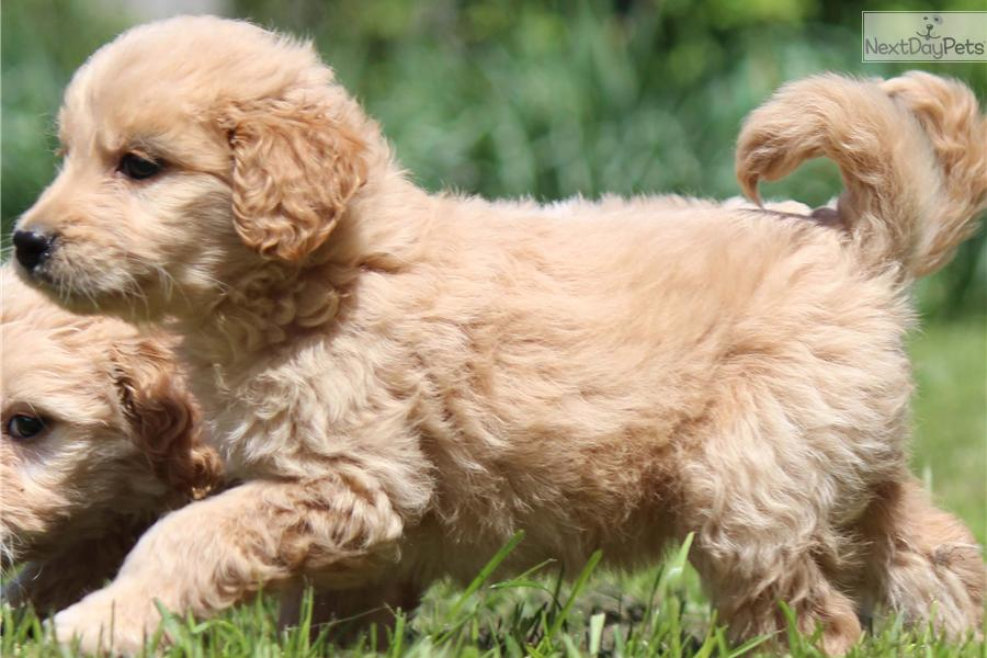 Goldendoodle puppy for sale near Grand Rapids, Michigan | 677c0f1d ...